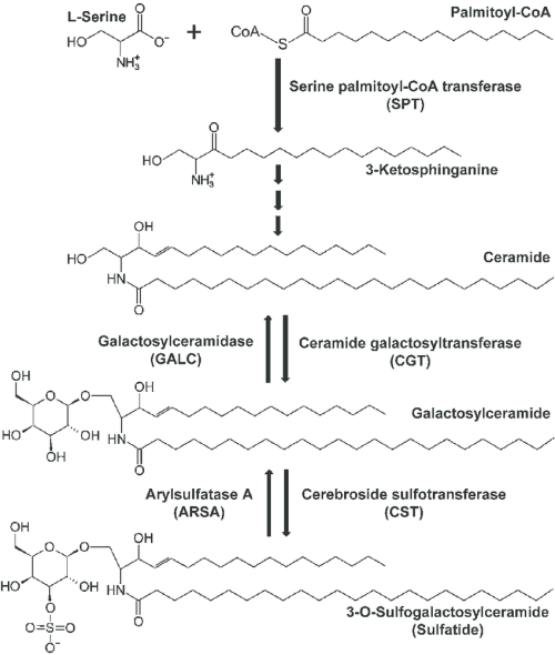 small resolution of simple metabolic pathway of sulfatide metabolism the de novo synthesis of sphingolipids including sulfatides is