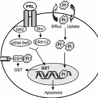 PRL protects MDA-MB-468 cells from cisplatin cytotoxicity
