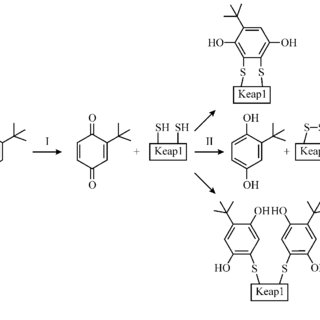 Key aspects of Nrf2 activation: 1) binding to Keap1