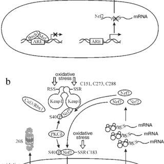 The mechanism of Nrf2 activation (explanation in the text