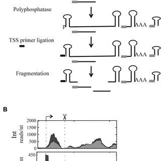 (PDF) Landscape of RNA polyadenylation in E. coli