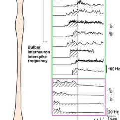 Reticular Formation Diagram Basic House Plumbing Pooled Data Of The Frequency Profile Interneurons Before Onset Scratching
