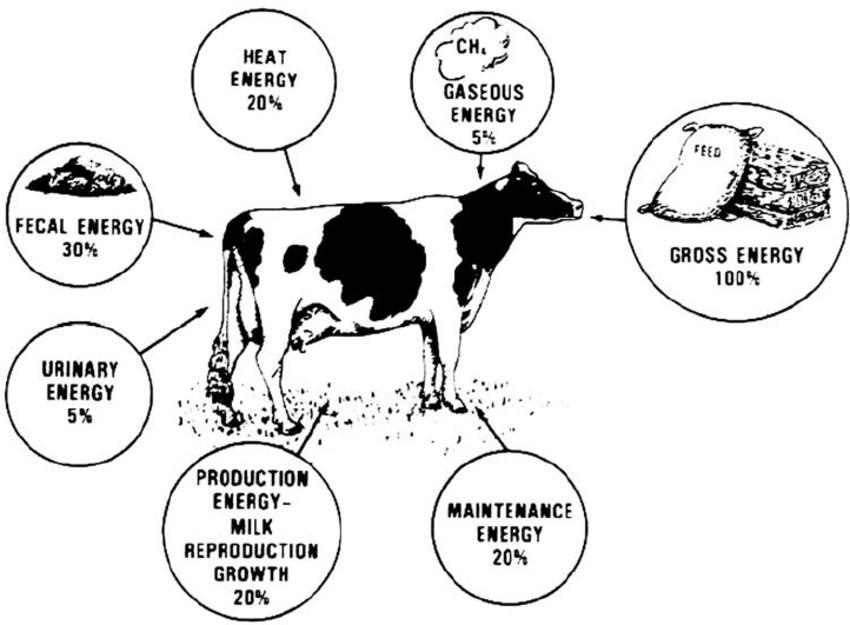 cows body diagram