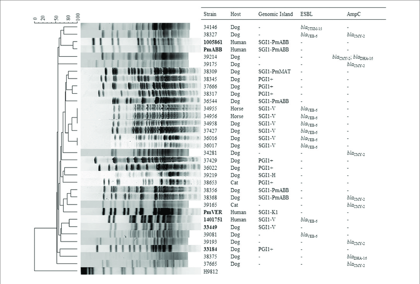 | Analysis of SmaI-Pulsed-Field Gel Electrophoresis (PFGE