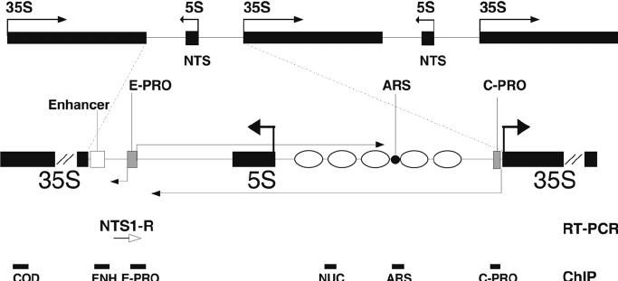 Schematic map of ribosomal genes in S. cerevisiae