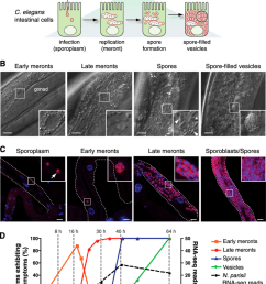 characterization of n parisii infection stages in c elegans a diagram [ 850 x 1107 Pixel ]