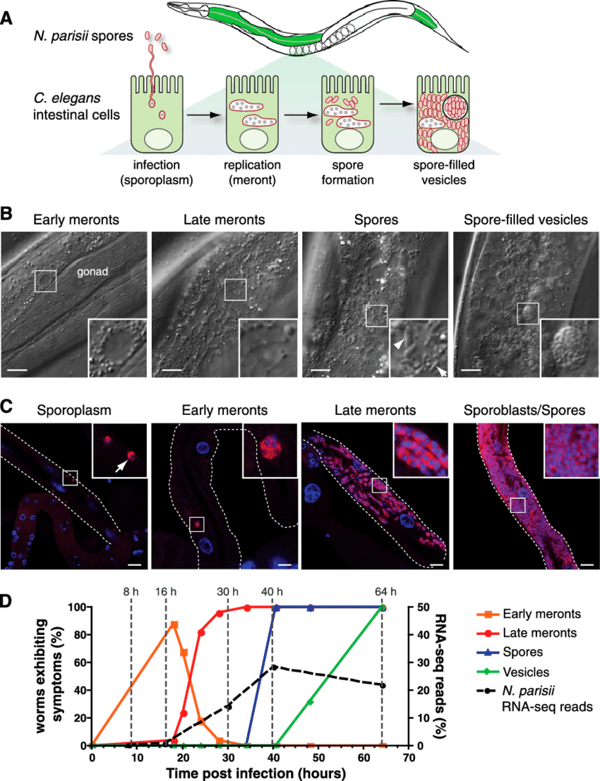 hight resolution of characterization of n parisii infection stages in c elegans a diagram