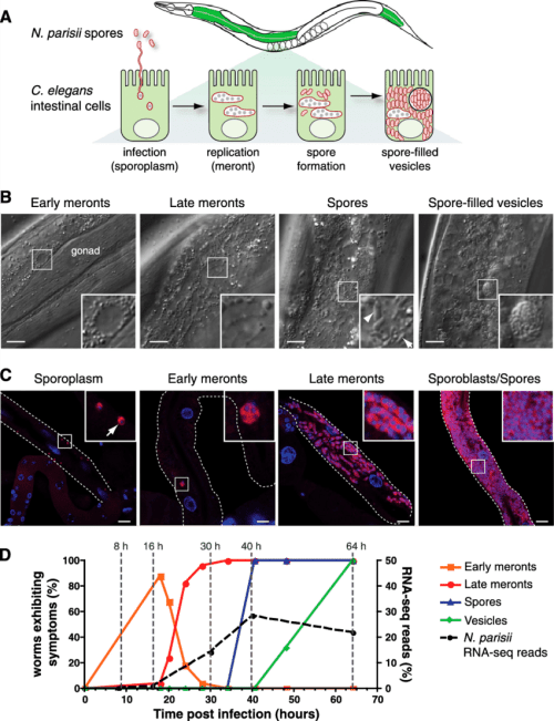 small resolution of characterization of n parisii infection stages in c elegans a diagram