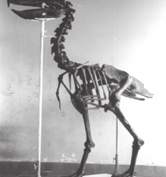 reproduction of the skeleton of paraphysornis brasiliensis based on download scientific diagram [ 850 x 1206 Pixel ]