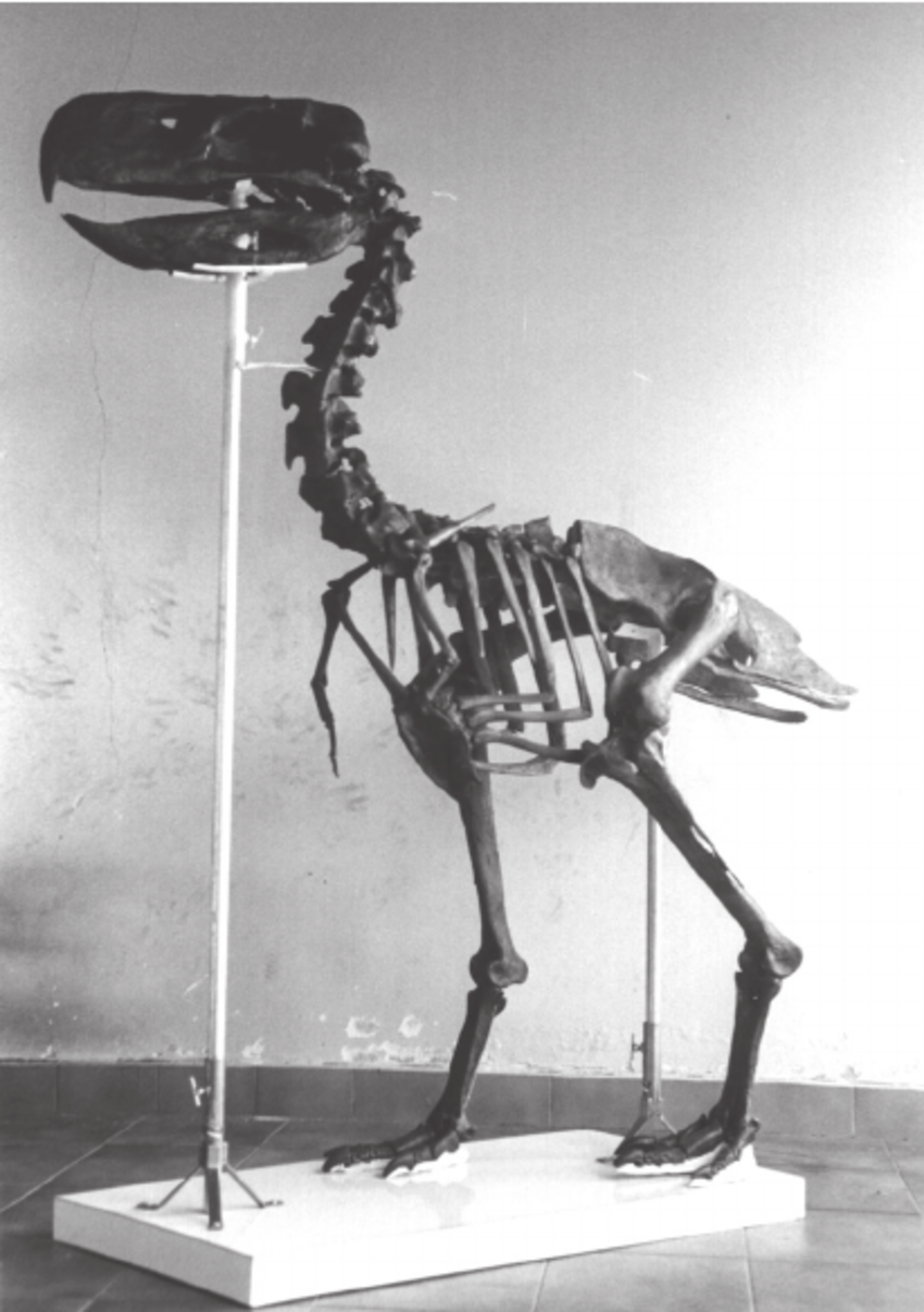 medium resolution of reproduction of the skeleton of paraphysornis brasiliensis based on download scientific diagram