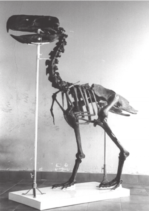 small resolution of reproduction of the skeleton of paraphysornis brasiliensis based on download scientific diagram