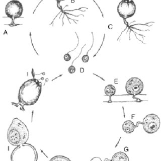 Life cycle of Zygorhizidium planktonicum (Doggett and