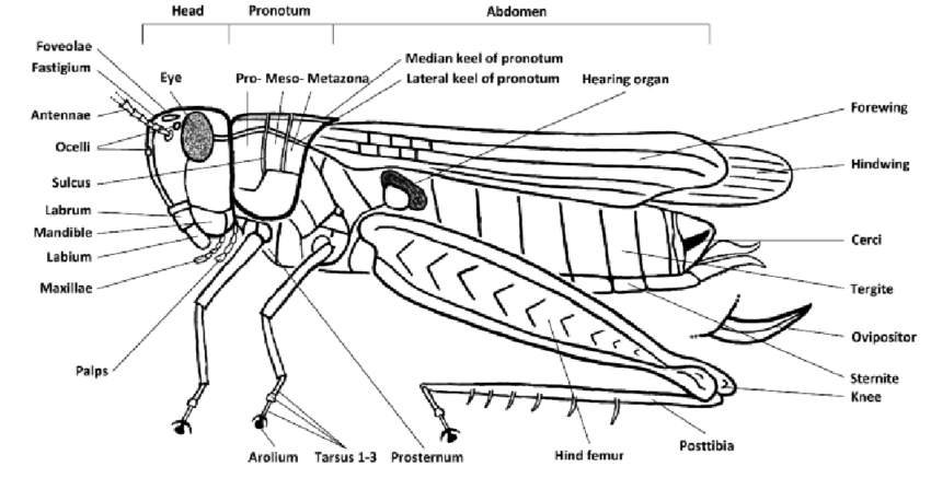 External anatomy of a grasshopper. Josef Tumbrinck