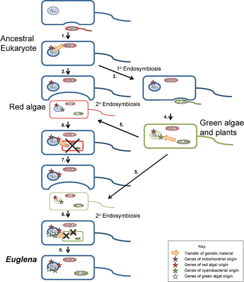 euglena cell diagram with labels 2012 mazda 6 fuse sources of the genome 1 ancestor all eukaryotic cells download scientific