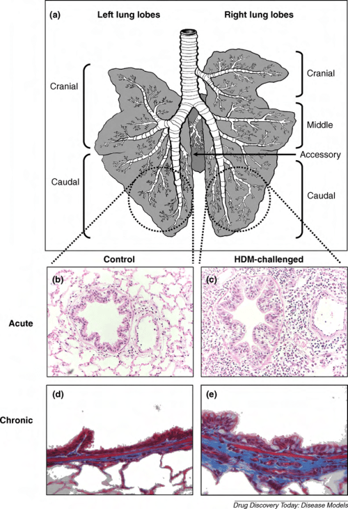 small resolution of the left and right sides of the sheep lung a comprise six distinct lobes