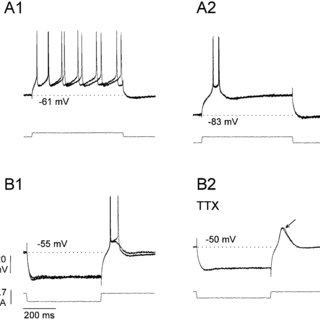 Electrophysiological responses of LTS and LTS neurons