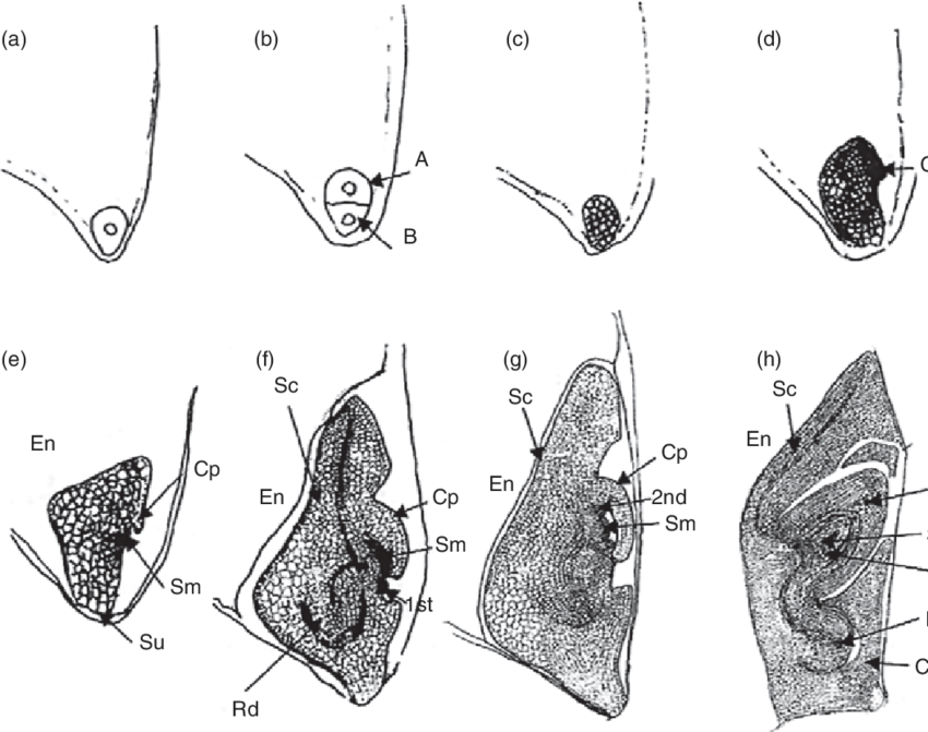 3. Stages of development of a monocot embryo, such as in