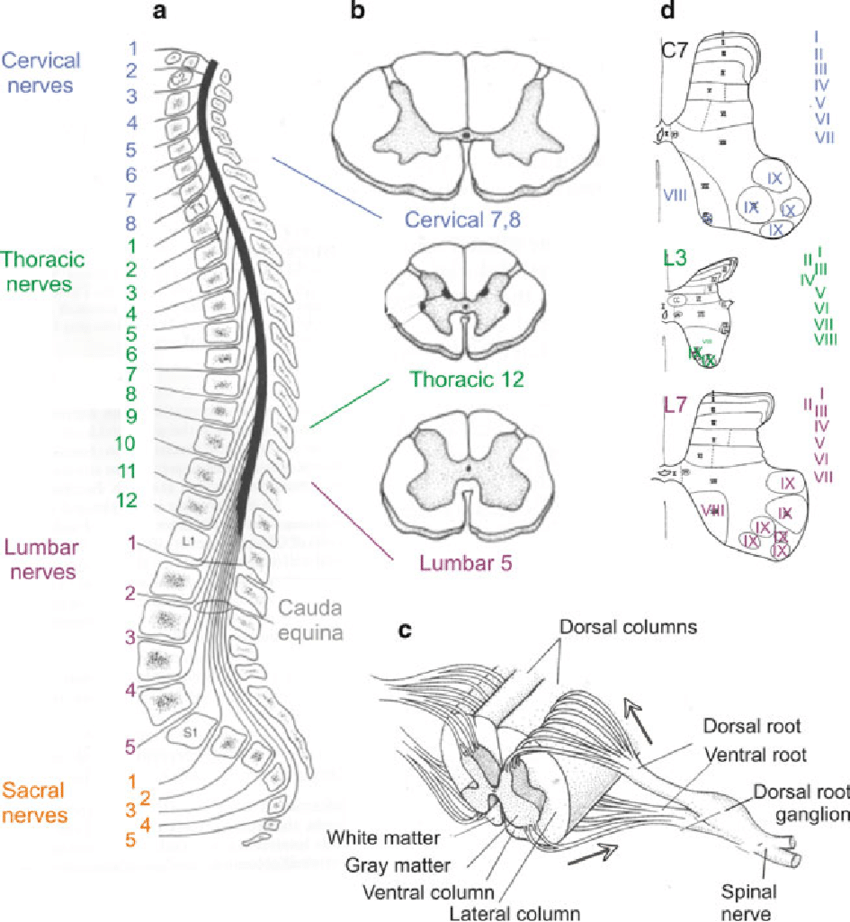 1 Basic features of spinal cord morphology. (a) Location