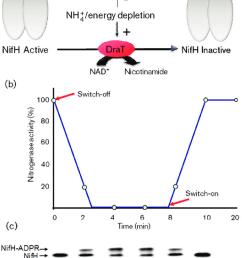 regulation of nitrogenase activity by reversible adp ribosylation a download scientific diagram [ 850 x 1237 Pixel ]