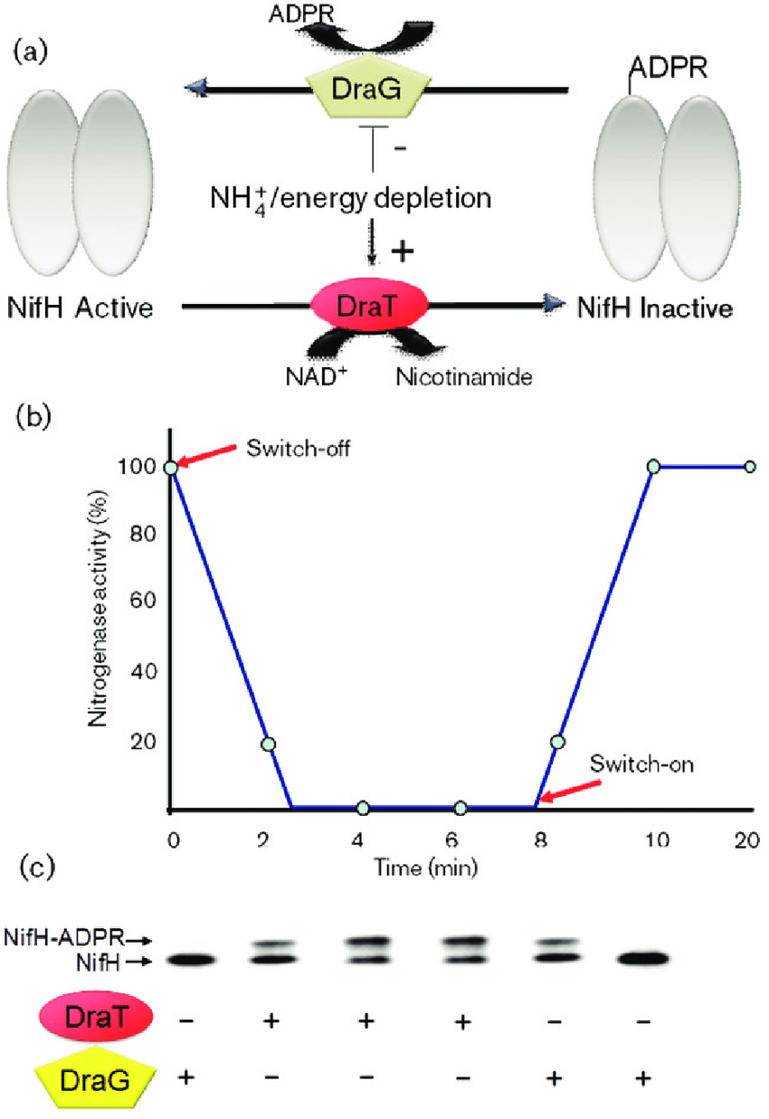 hight resolution of regulation of nitrogenase activity by reversible adp ribosylation a download scientific diagram
