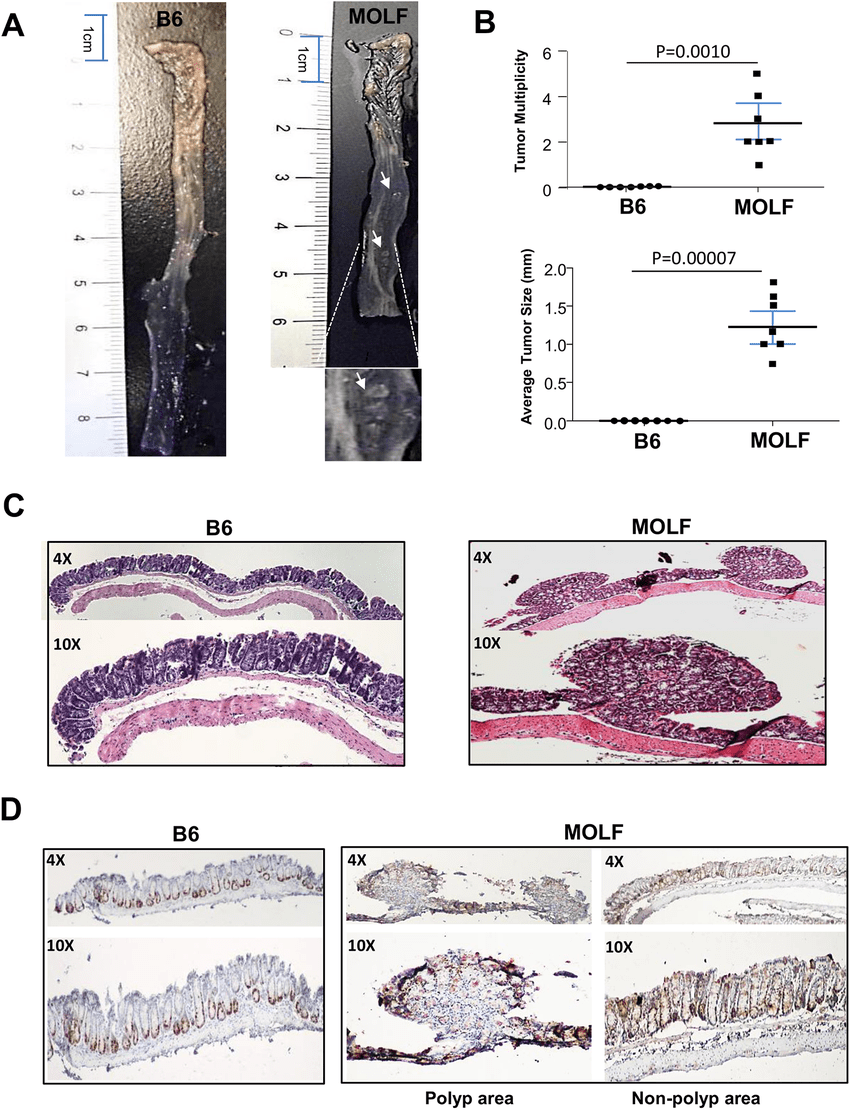 medium resolution of molf mice spontaneously developed polyp like nodules in colon at steady state a