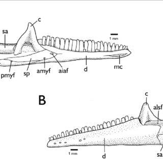 Abdominal skeleton of S. dumerilii, MPEG 7332, in ventral