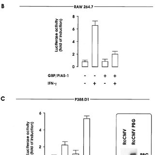 STAT-1 binding activity in the P388.D1 and RAW264.7 cell