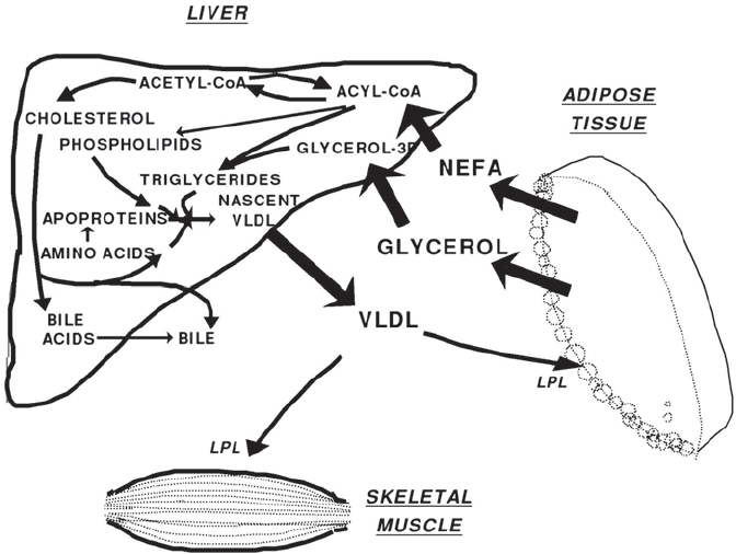 Schematic representation of utilization by the liver of
