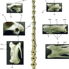 Ostrich Skeleton Diagram Wild Turkey Dorsal View Of Struthio Camelus Cervical Column A Download Scientific