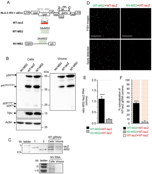 small resolution of dual rna labeling system and fish analysis of heterodimeric rna in virions a