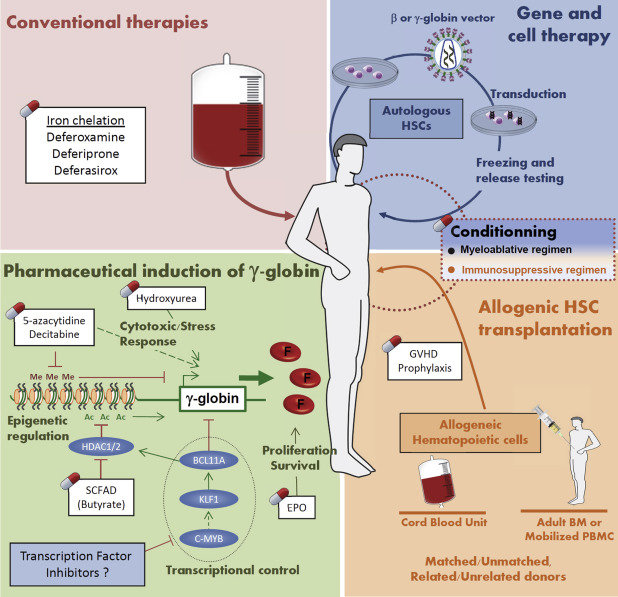 bone marrow cell diagram 2007 dodge caliber sxt radio wiring current and future therapies for beta-thalassemia major. hemoglobin... | download scientific