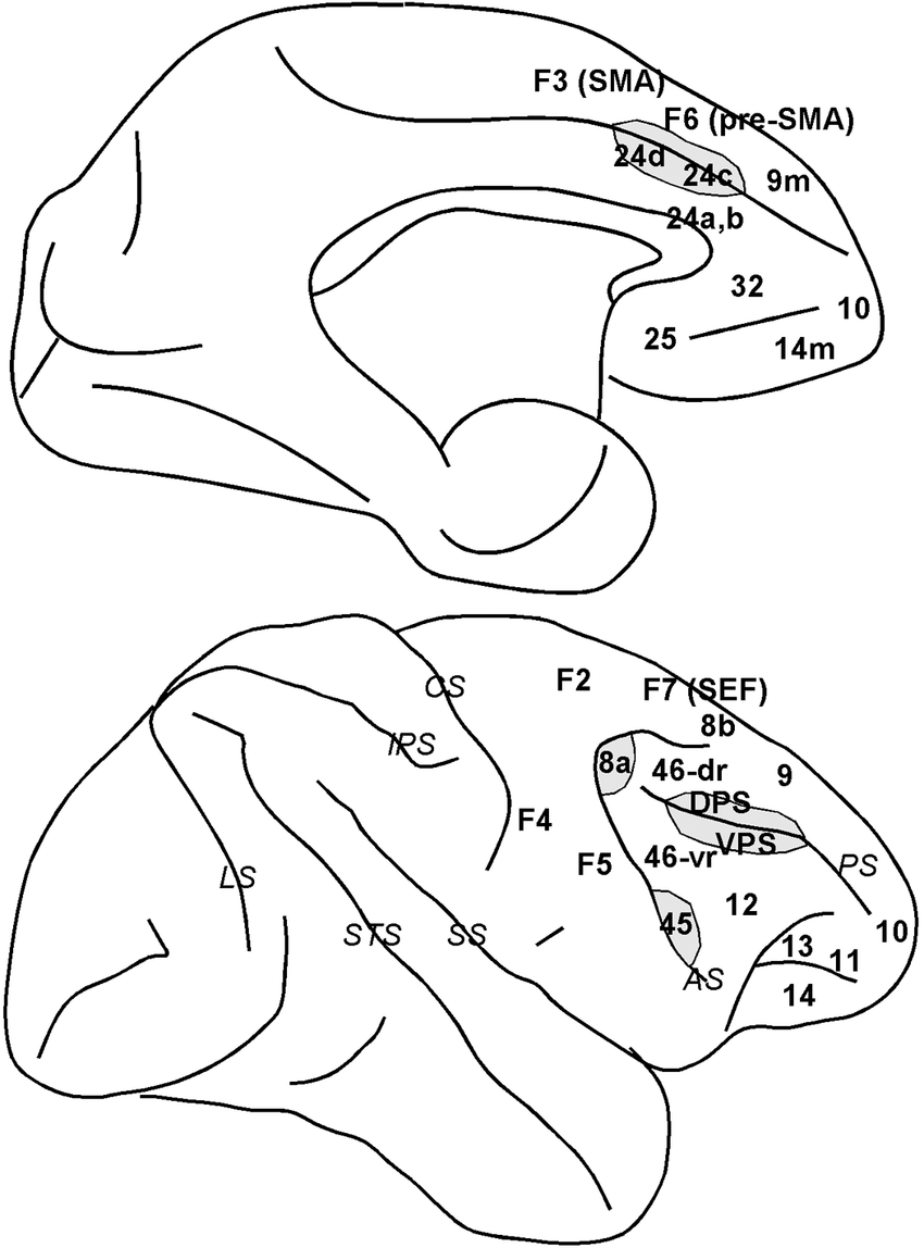 Schematic diagram of the macaque brain depicting