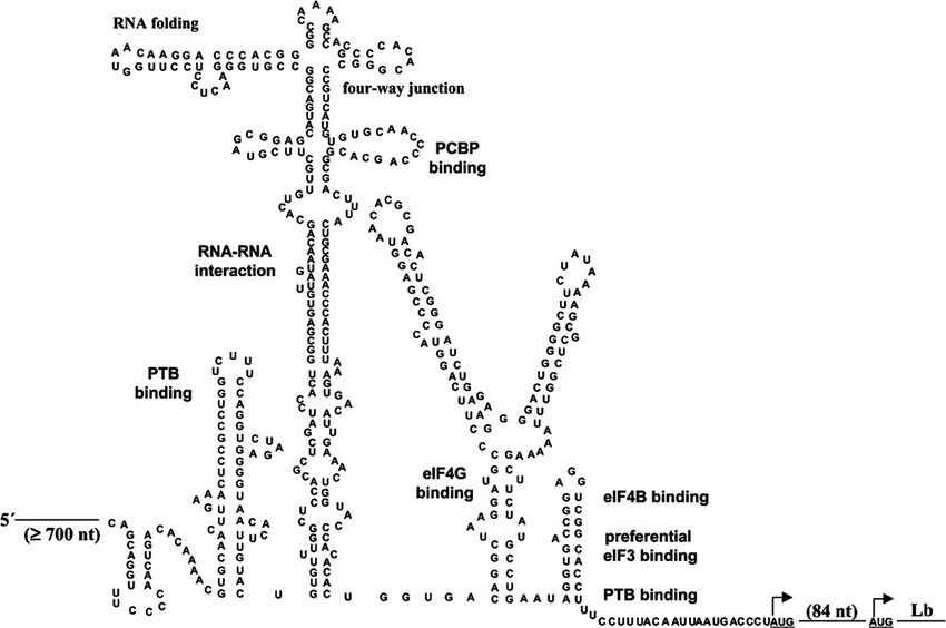 Structure-function relationship in the FMDV IRES RNA