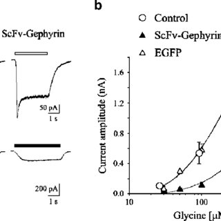 (PDF) Gephyrin Selective Intrabodies as a New Strategy for