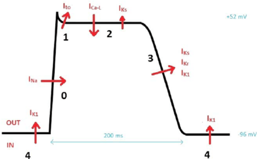 Myocardial action potential. I K1 indicates inward