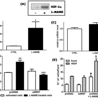 (A) Characterization of HUVECs transfected with eNOS siRNA