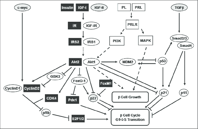Regulation of G1/S transition by growth factor (insulin