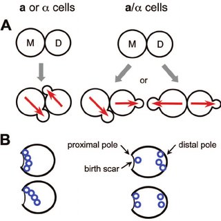 Polarized growth in the life cycle of the budding yeast S