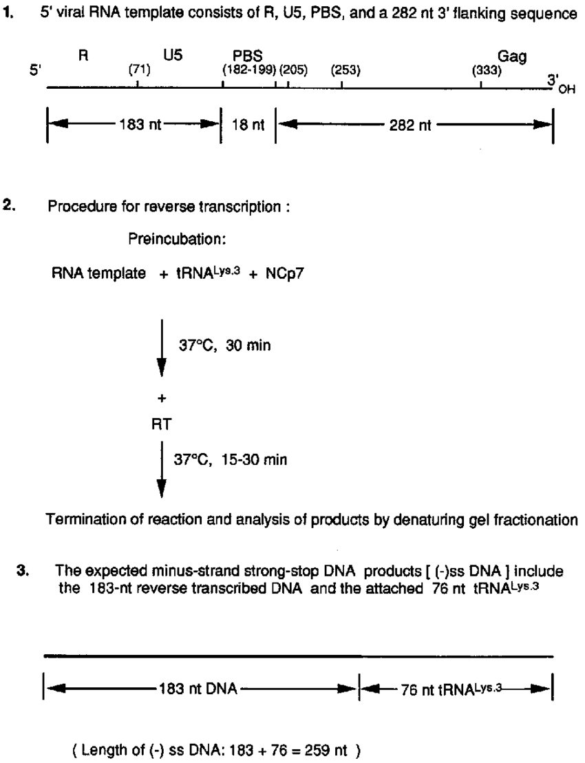hight resolution of graphic description of reverse transcription reaction part 1 the rna template consists