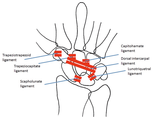 A schematic representation of the intrinsic ligaments on