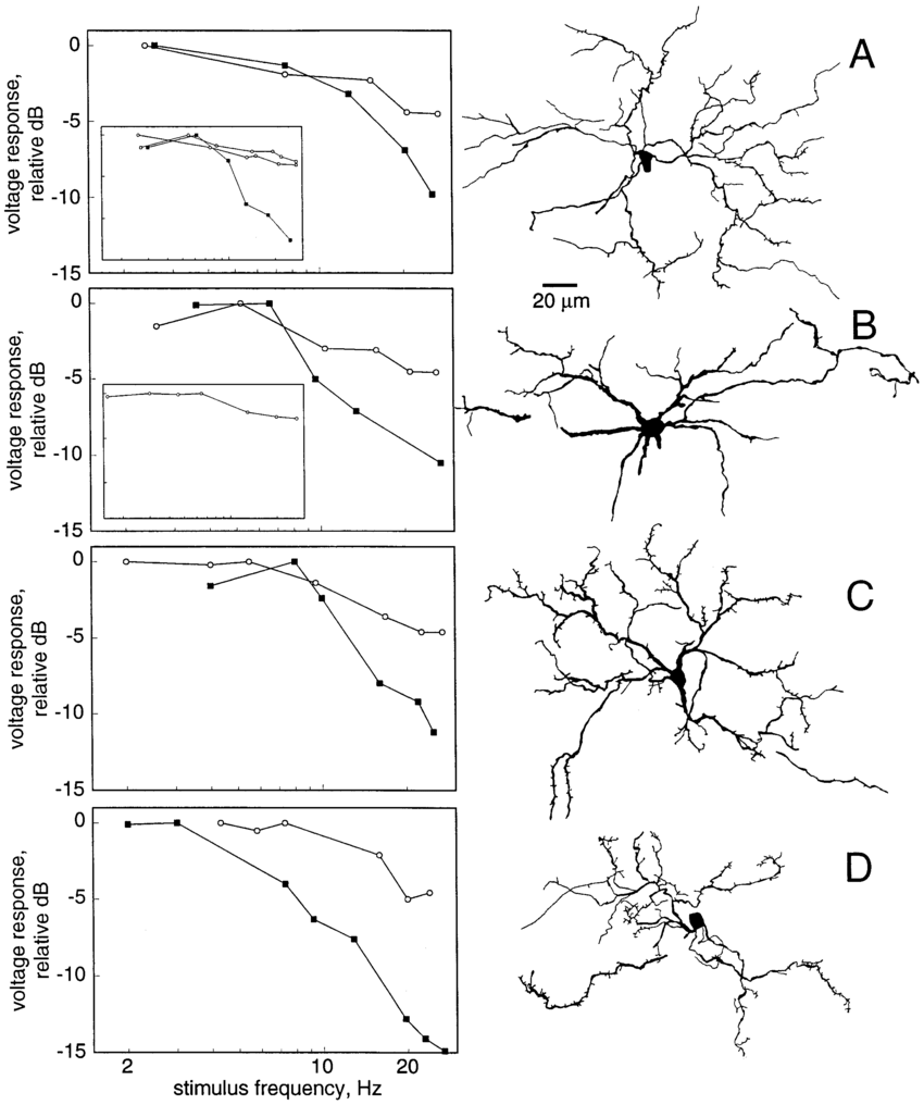 Morphology and physiology of spiny neuron types. Graphs on