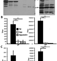 o antigen inhibits the binding of b pertussis vaccine induced antibodies to live but not denatured b parapertussis cells  [ 850 x 1346 Pixel ]