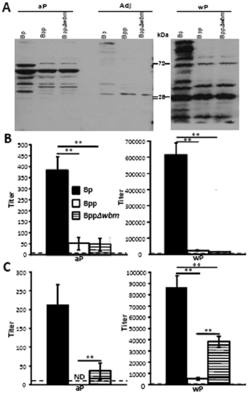 small resolution of o antigen inhibits the binding of b pertussis vaccine induced antibodies to live but not denatured b parapertussis cells