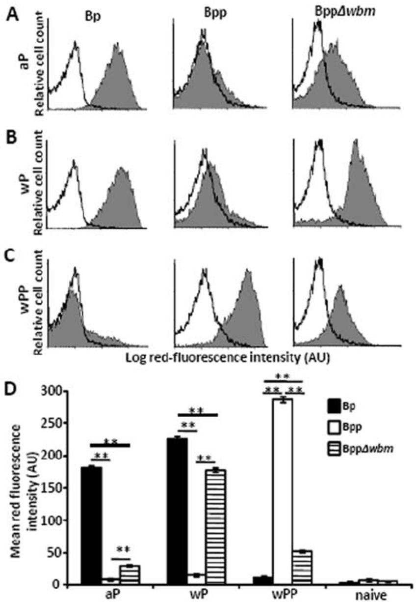 medium resolution of o antigen blocks b pertussis vaccine induced antibodies from mediating download scientific diagram