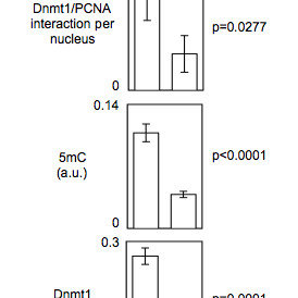 Detection of endogenous Dnmt1/PCNA interactions using P