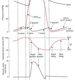 the normal left ventricular lv cardiac cycle interaction between download scientific diagram [ 850 x 1588 Pixel ]