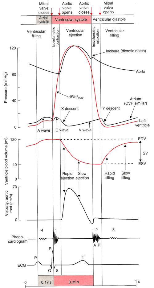 small resolution of the normal left ventricular lv cardiac cycle interaction between download scientific diagram