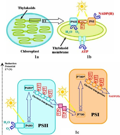 small resolution of  a chloroplast an organelle inside plant cells b structures download scientific diagram