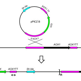 Integration of the pPICZB vector into the P. pastoris