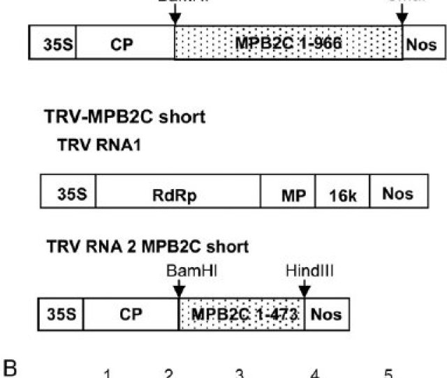 A Schematic Representation Of Mpbc Silencing Constructs In Trv